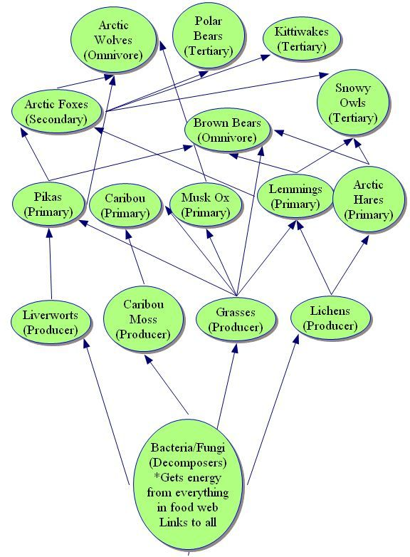 Savanna Animal Food Chain Diagram Cooper Gfci Wiring Arctic Tundra Ecosystem Web | Web: Biology Project Projects ...