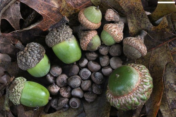 Acorns During the Norman Conquest, the English carried dry acorns because they were a symbol of luck, prosperity and power.