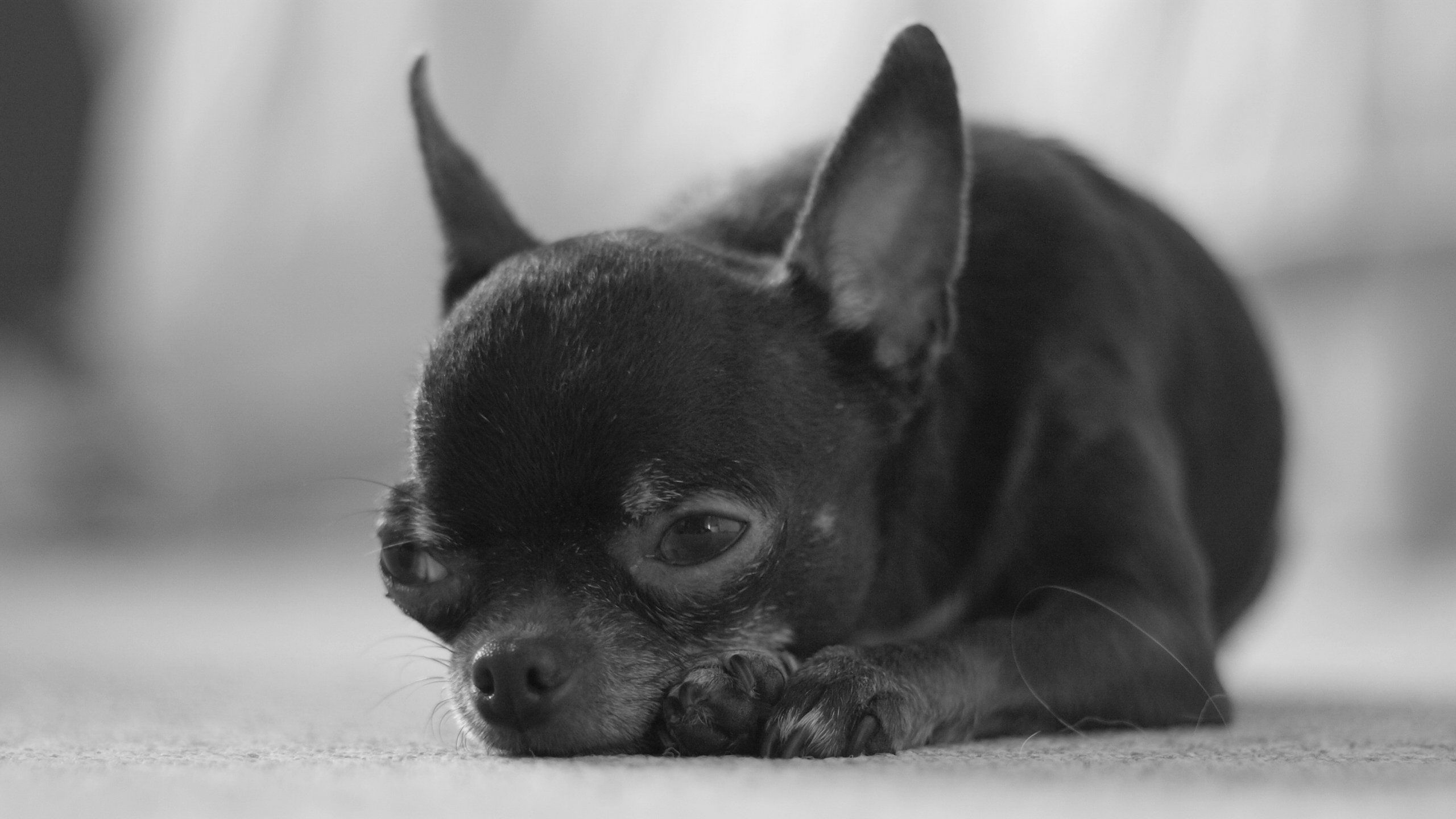 Black Chihuahua Dog Free Hd Picture Teacup Chihuahua Puppies