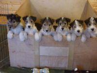 Hunde Und Welpen Kaufen Ebay Kleinanzeigen Foxterrier Welpen Fox Terrier Welpen