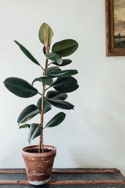 Rubber Plant in 2019  House plants Plants Plant design