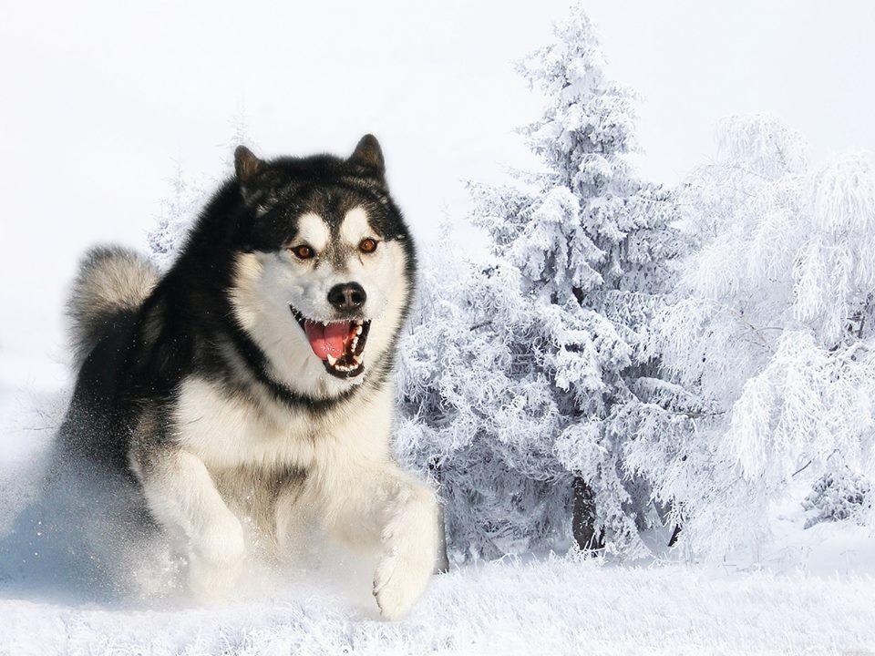 Husky Running Through Snow Alaskan Malamute Husky Dogs