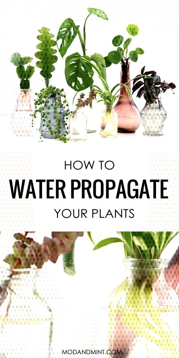 #waterpropagation #indoorgardening #modandmintcom #indoorplants #propagation #houseplants #succulents #satisfying #houseplant #collection #extremely #propagate #different #together #multiply Plant Pin! Water Propagation means New Plants for Free. Multiply your Houseplant collection. It's sPlant Pin! Water Propagation means New Plants for Free. Multiply your Houseplant collection. It's so easy and extremely satisfying. Propagate different plants and group all the bottles together into your... #su