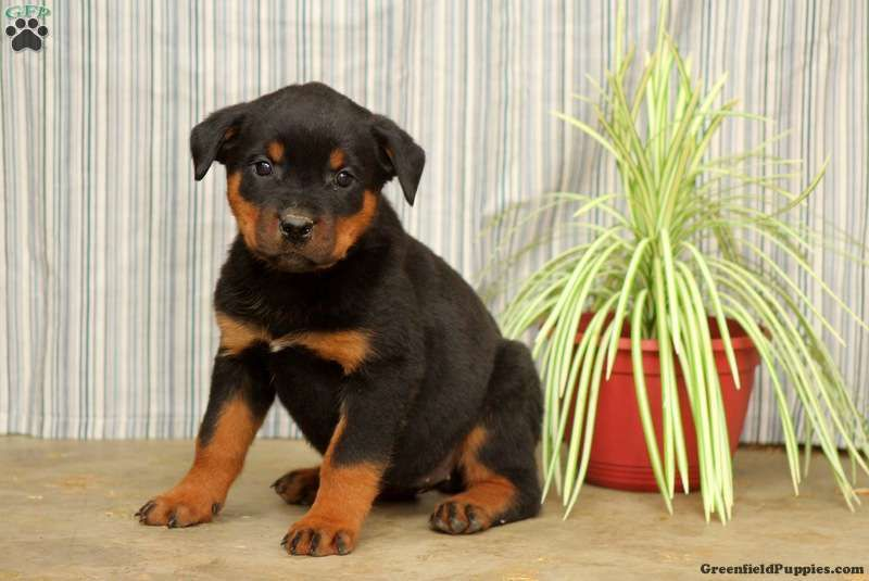 Milly Rottweiler Puppy For Sale In Pennsylvania Rottweiler