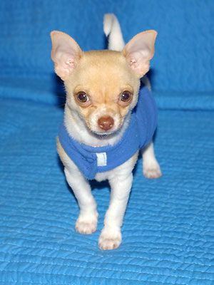 Life Relationships Chihuahua For Sale Chihuahua Dogs Little Dogs