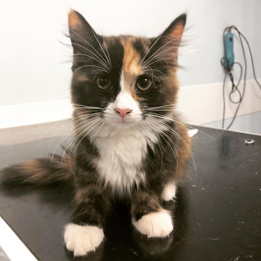 Happy Caturday This Little Gorgeous Kitten Is Latte She Looks A Little Nervous As She Was About To Have Her Microchip Placed Mi Caturday Losing A Pet Kitten