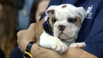 Blue Iii Makes His Debut At Hinkle Fieldhouse Bulldog Mascot