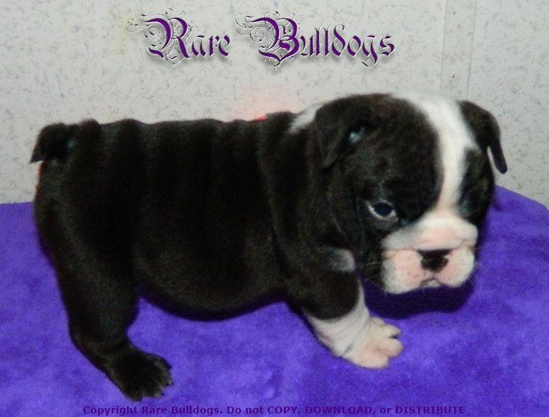 Akc Champion Sired Black Seal English Bulldog Boy Status Quo Pet