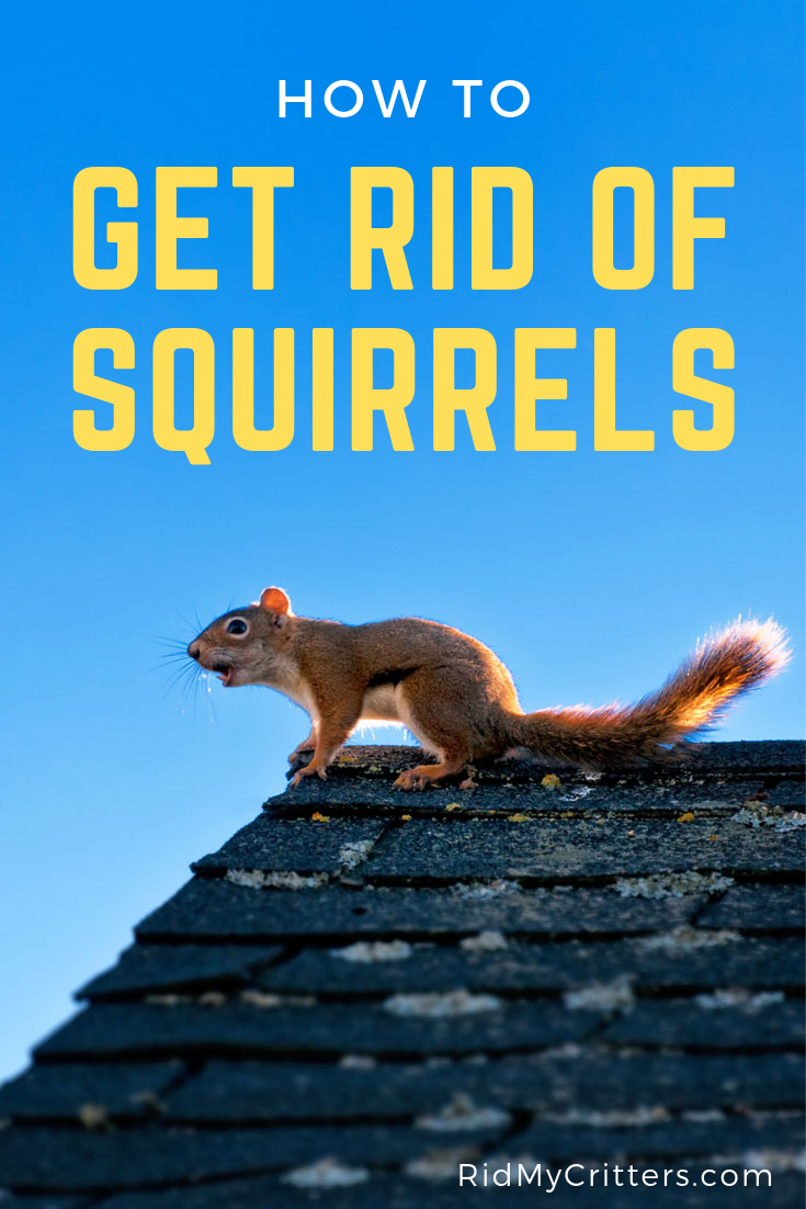 How To Get Rid Of Squirrels From Your Attic Garden Or Bird Feeder Get Rid Of Squirrels Squirrel Squirrel Repellant