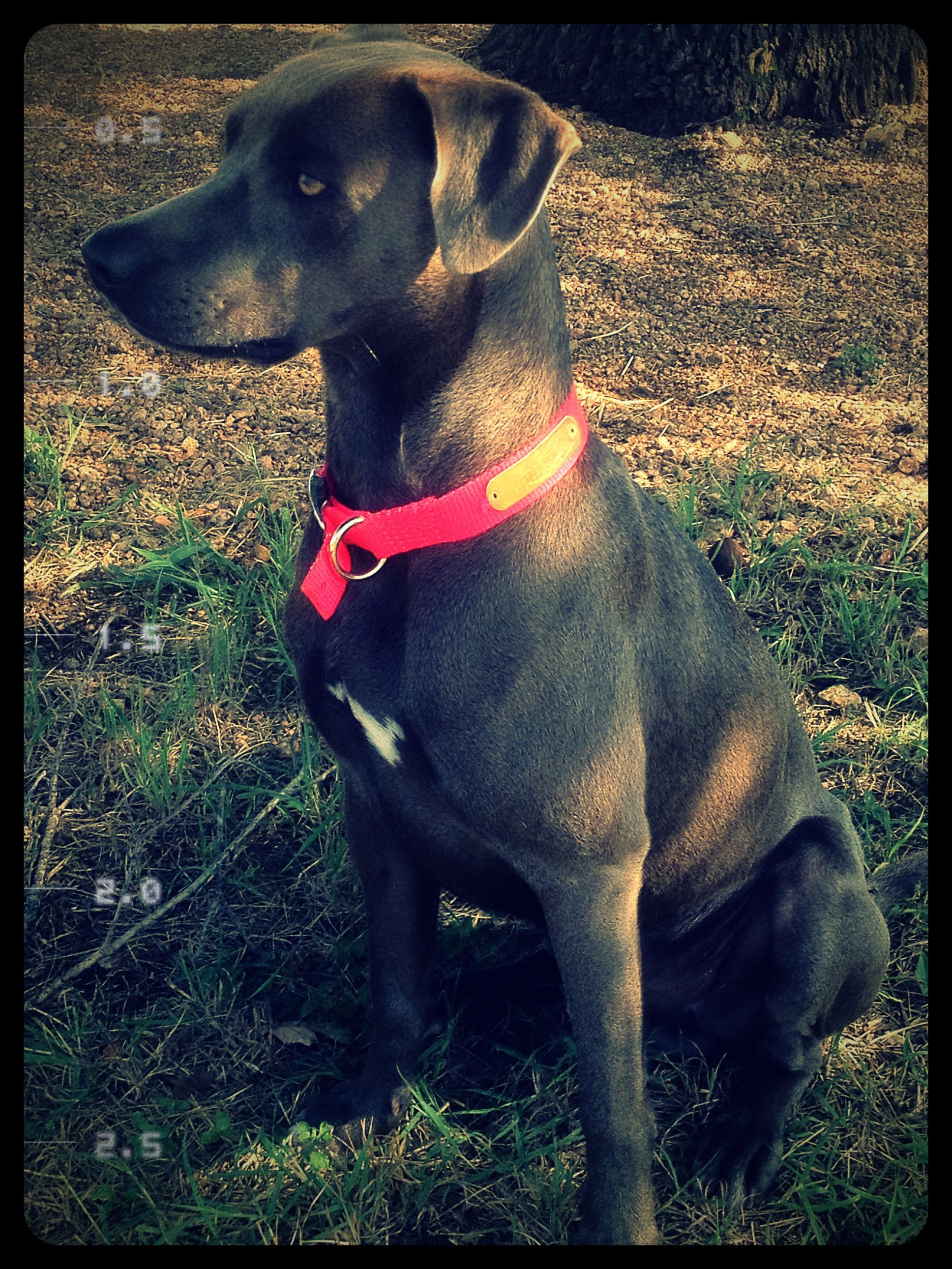 Texas blue lacy Blue lacy dog, Dog swimming, Blue lacy