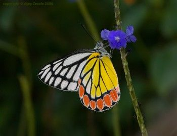 jezebel butterfly