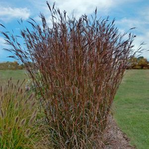Bluestem big add motion to your garden with the tall for Tall ornamental grasses for sun
