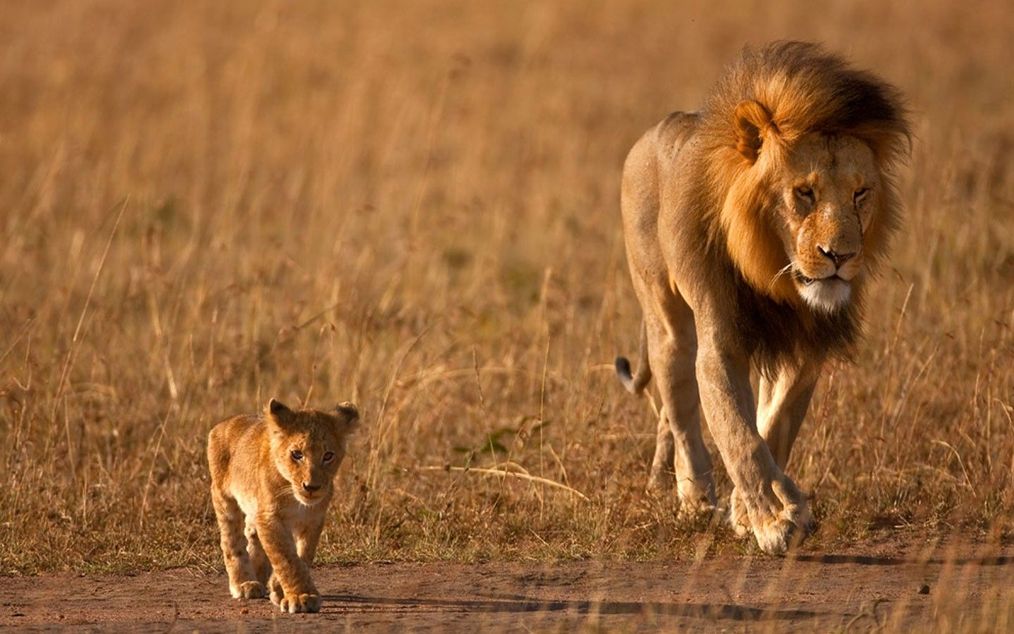 Me My Dad Http Africatriedandtested Com Lion Wallpaper
