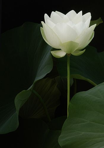 White Lotus Flower at sunrise