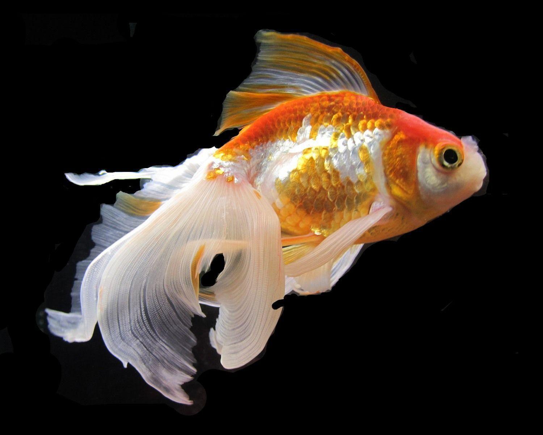 Днем, золотая рыбка красивые картинки