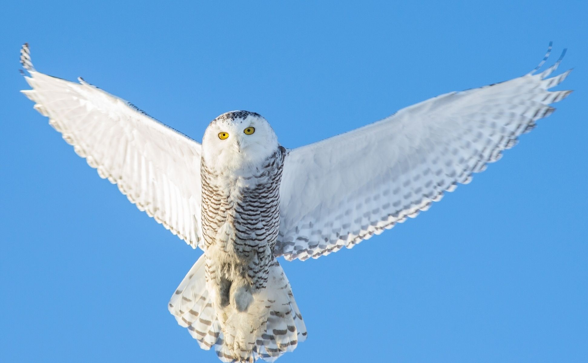 Картинки по запросу полярная сова в полете   Snowy owl ...