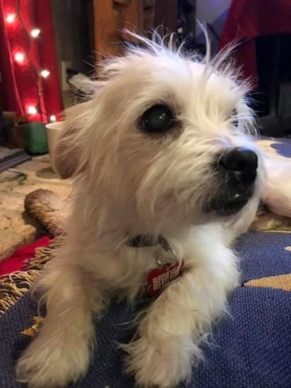 Katie, adoptable Dog, Senior Female West Highland White