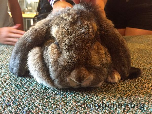 Relaxed bunny receives attention from several humans - August 22, 2015