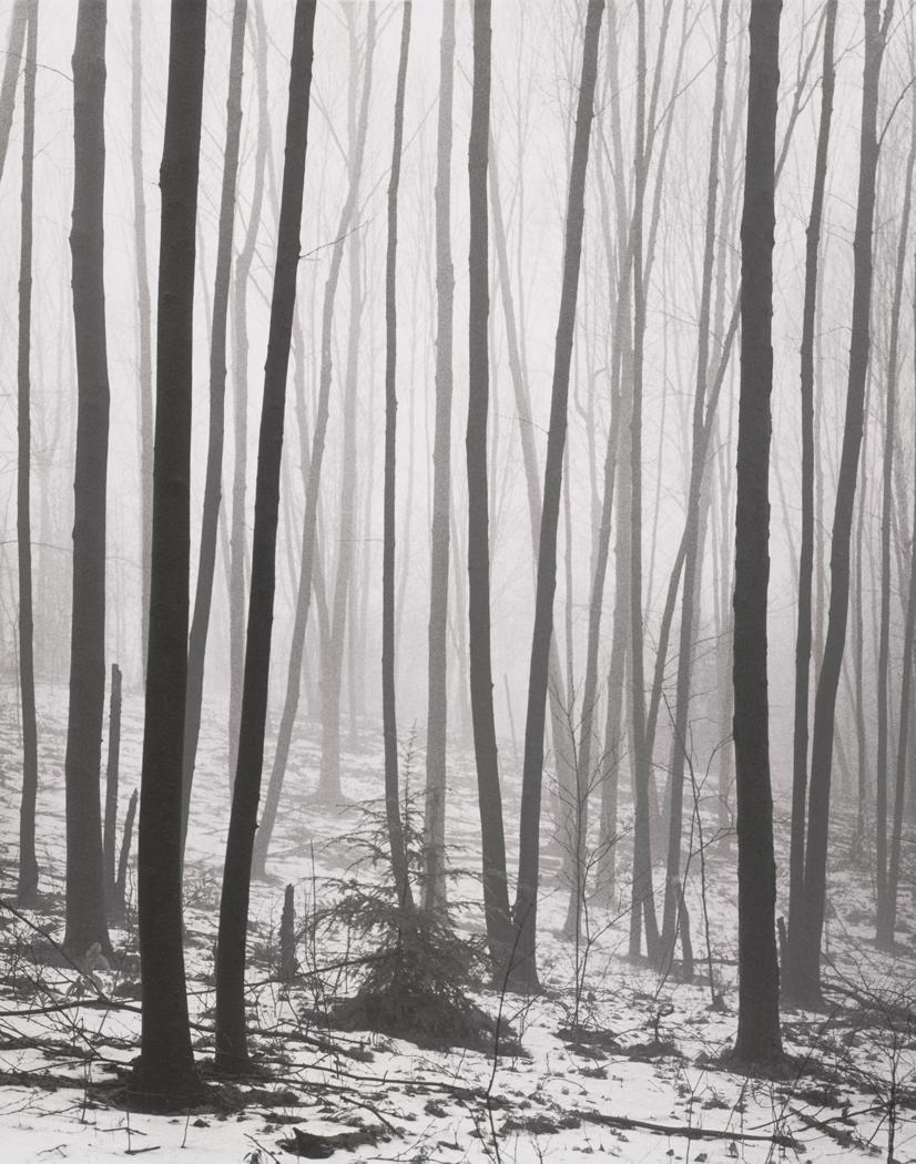 ANDREAS FEININGER 1906 - 1999 Black Birch (Betula lenta)