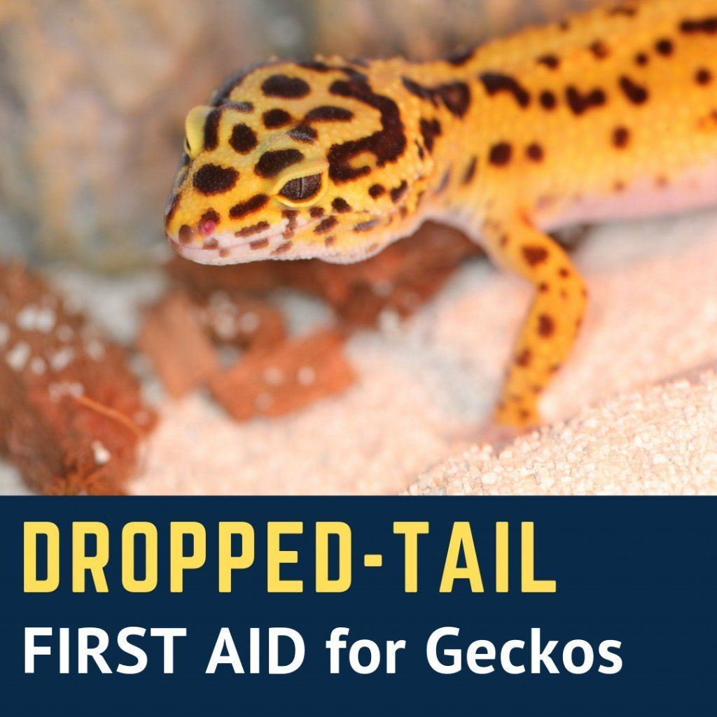 What To Do If A Leopard Gecko Drops Its Tail In