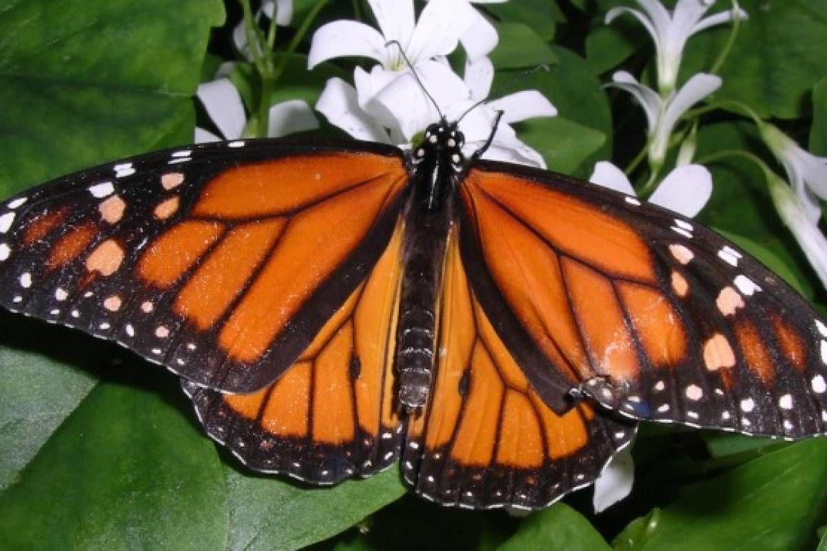 Crean nuevo plan para cuidar a la mariposa monarca - VeoVerde ...