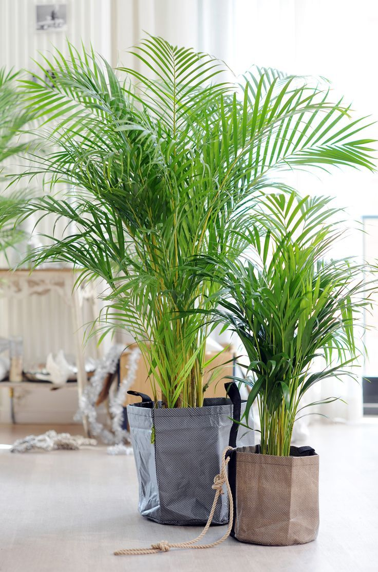 Areca Palm Inside Plants Plants Indoor Plants Inside Plants