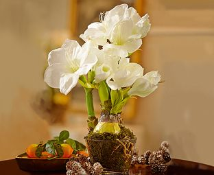 Delicate white silk flowers of a Christmas amaryllis