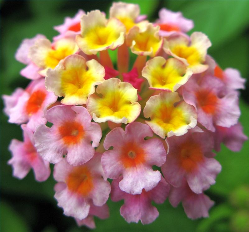 Lantana Plants Are Low Maintenance They Do Well In Areas Where Weather Temperature Is High And Tolerate Dry Conditions These Plants Will Add A Pop Of Color To