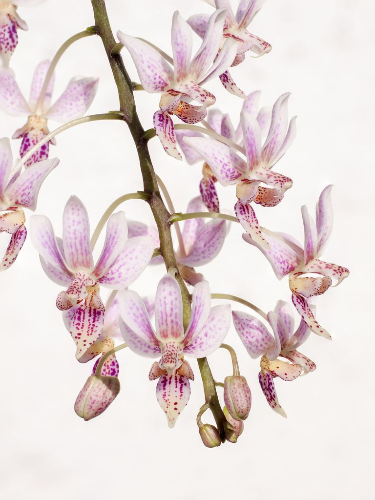 Aprenda A Cuidar De Phalaenopsis Clique Na Foto