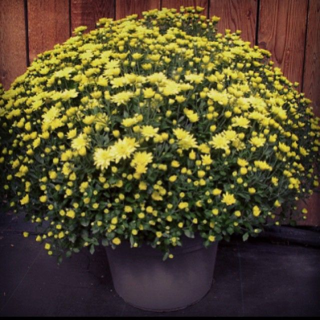 #Fall Mums available at www.sevensistersflorist.com