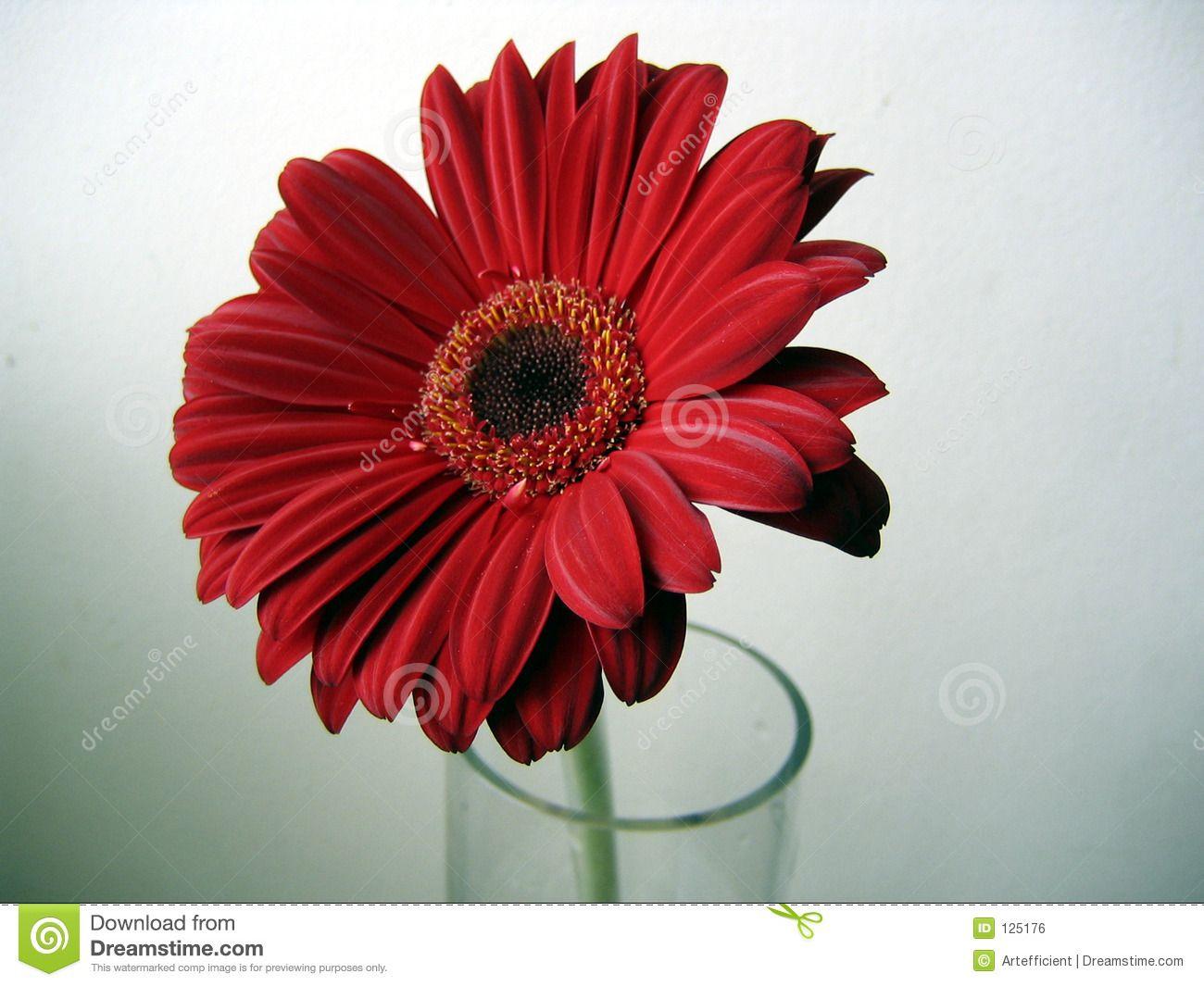 Deep Red Gerbera Flower Close Up On Green Background Royalty Free Flower Close Up Gerbera Flower Green Backgrounds