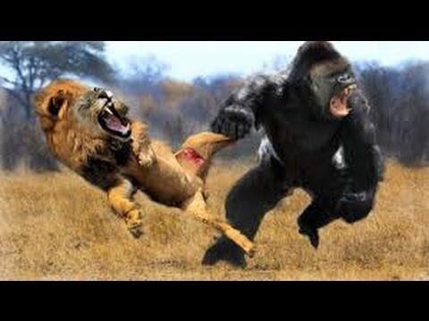 Lion Vs Gorilla Real Fight Gorilla Vs Lion Discovery