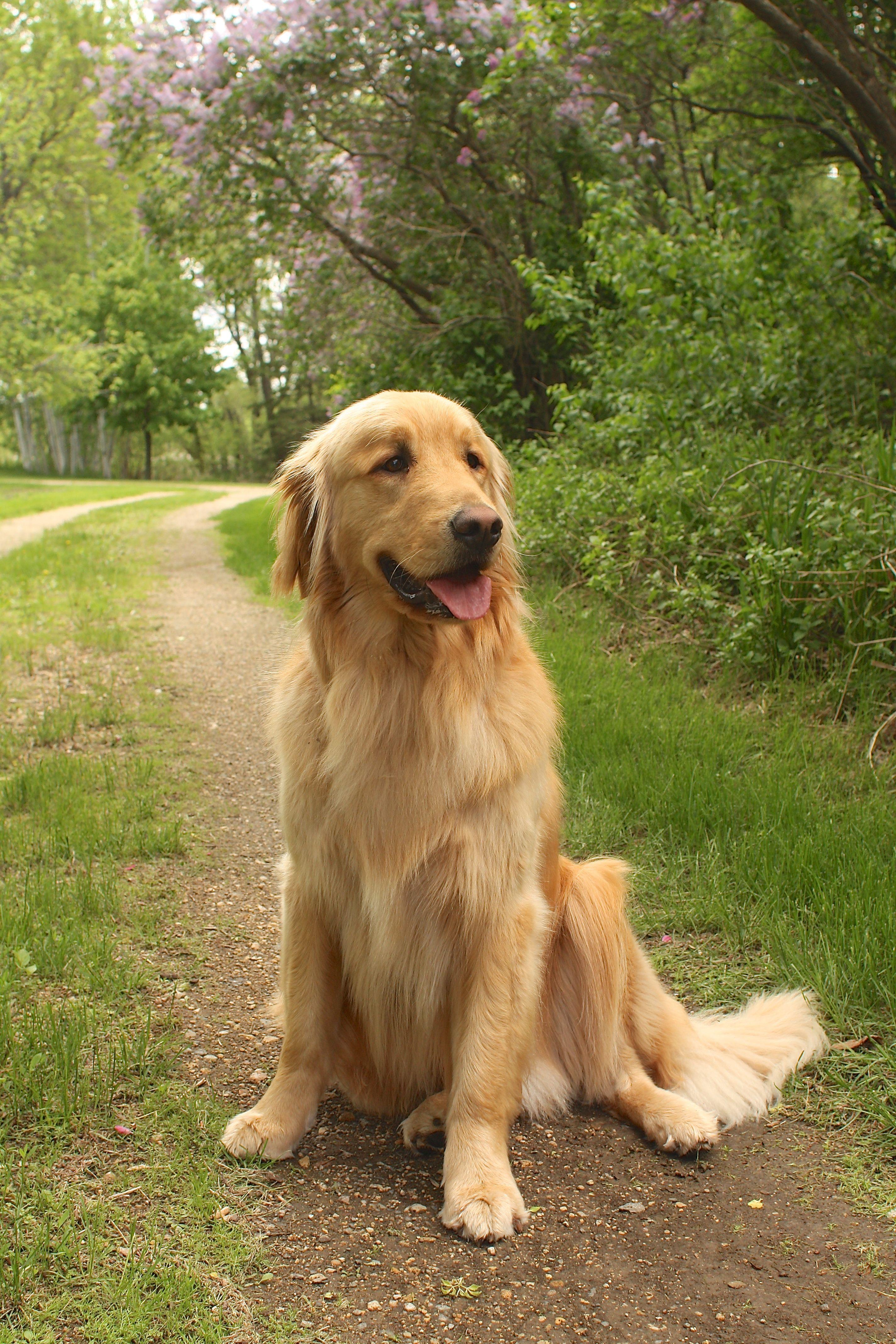 Golden Retriever A Path To Happiness Beautiful Finn Goldens