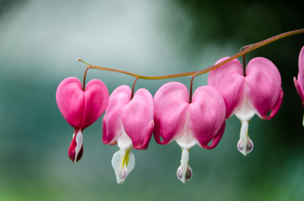 How To Grow And Care For Bleeding Hearts Bleeding Heart Photography Prints Art Wall Art Prints