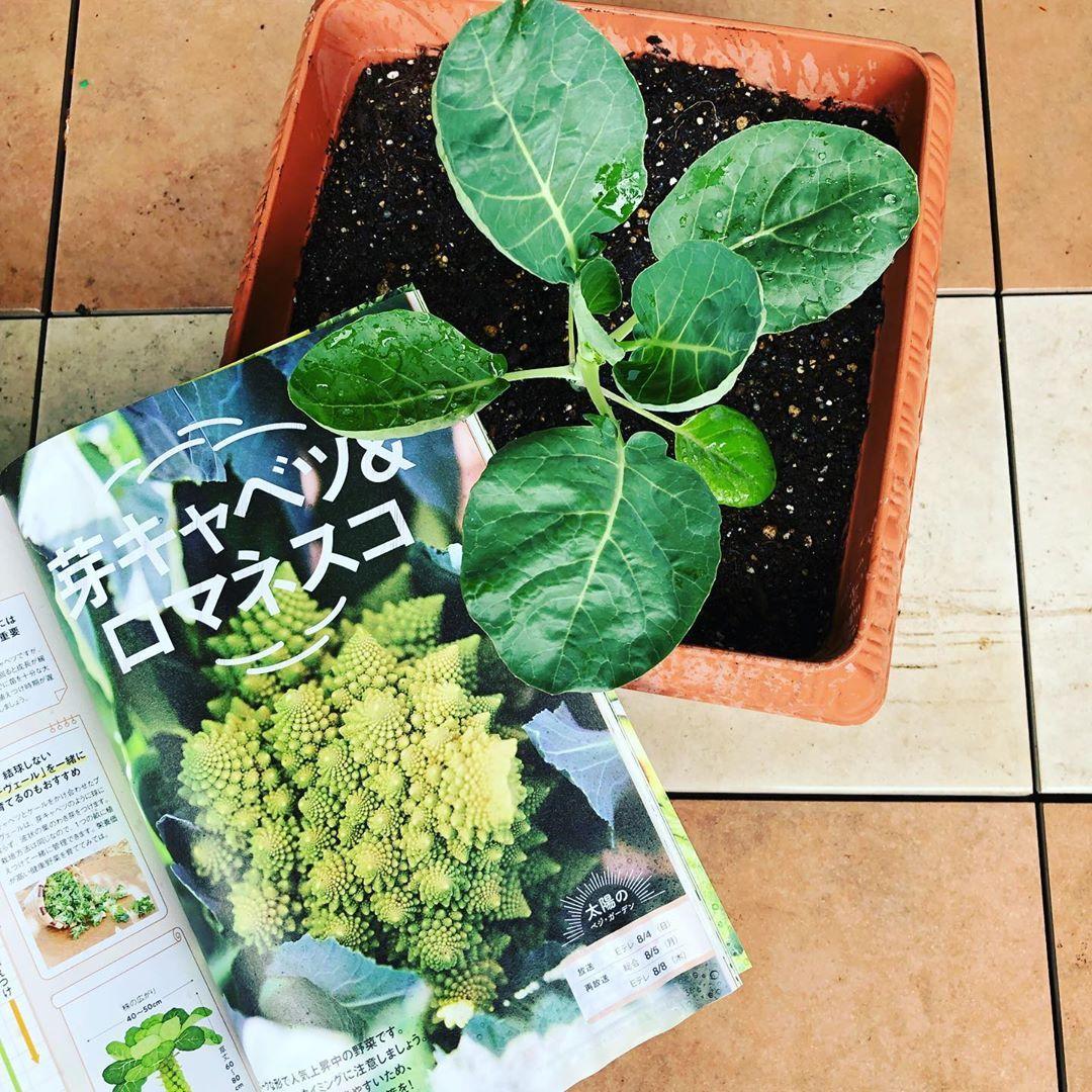 こんにちは ベランダ菜園を秋冬モードに ロマネスコ 茎