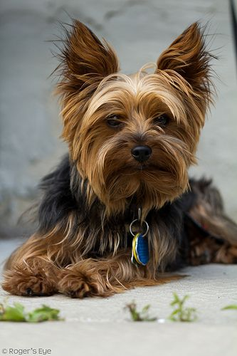 27 Cute Pictures Of Yorkshire Terriers Yorkshire Terrier Yorkie