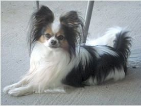 Tiamo is an adoptable Papillon Dog in Syracuse, NY.
