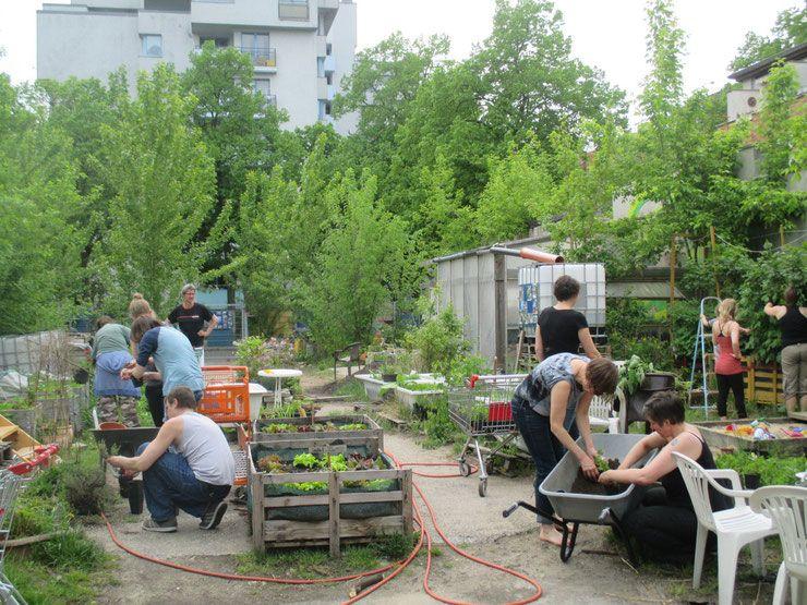 Prachttomate Gemeinschaftsgarten In Neukolln Gemeinschaftsgarten Prachttomate Stadtgarten Garten Gartnern
