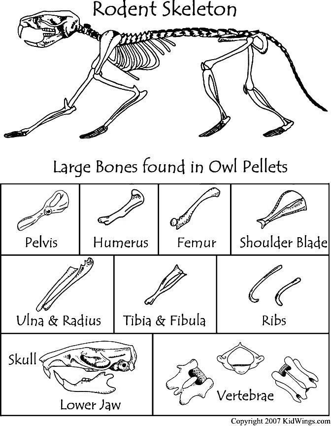 Here 39 S A Bone Chart To Use When Dissecting Owl Pellets