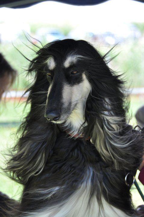 Black And Silver Afghan Hound Goofy Dog Hound Breeds