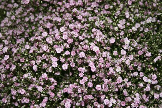 My Pink Baby's Breath ~ Gypsophila 'My Pink' ~ 80-100cm tall ~ Spacing 60-80cm ~ Upright well branched bush type.  Large double pink blooms that make good cut flowers.  Blooms early to midsummer.  Plant in full sun in moist, well drained soil.