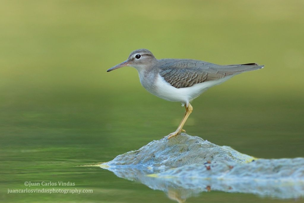 Spotted Sandpiper by Juan Carlos Vindas on 500px