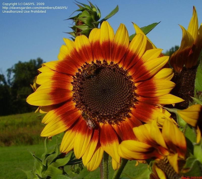 Today S Bloom Is Sunflower Autumn Beauty Helianthus Annuus Planting Flowers Sunflower Autumn Beauty