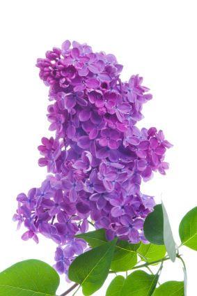 Lilac Tattoo Idea Forearm Lilacs Pinterest Fleurs