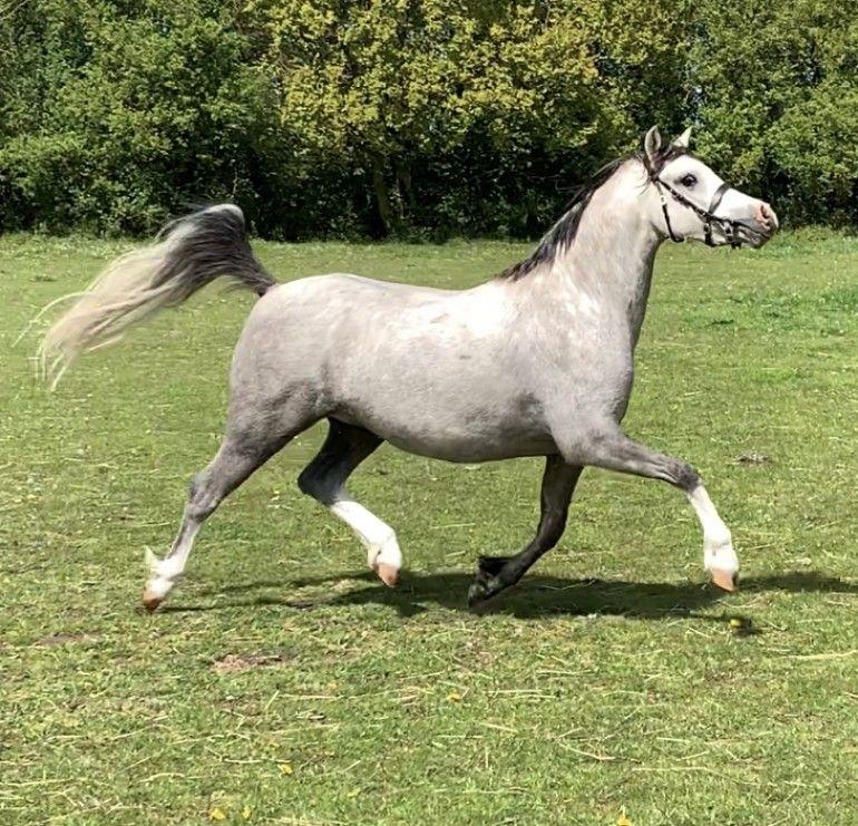 Welsh sec b, 3 year old GOLD PREMIUM sports pony Horse