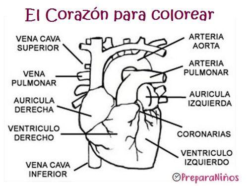 El Corazón para colorear para niños de inicial | Ciencias Naturales ...