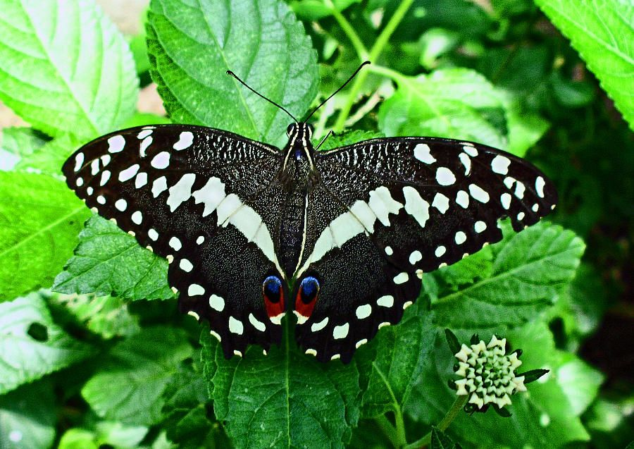 Citrus Swallowtail Erfly By Lucien