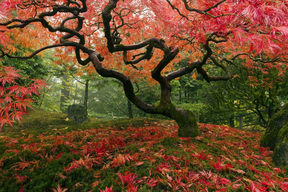 A New View Of The Famous Japanese Maple Tree . In The Gorgeous Japanese  Garden At Washington Park In Portland, OR. Part 78