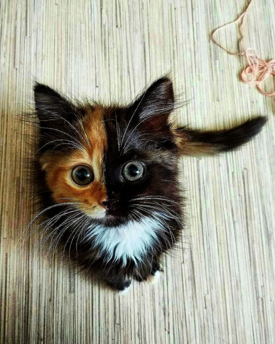 Cats And Kittens For Sale Gumtree Cats And Kittens Norwich Cats