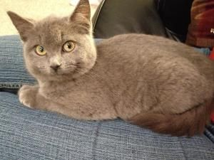 Adopt Prancer On Russian Blues Russian Blue Grey Cats Cats